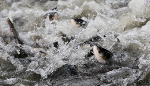 До Кирнасівського водосховища вселять більше тонни зарибку